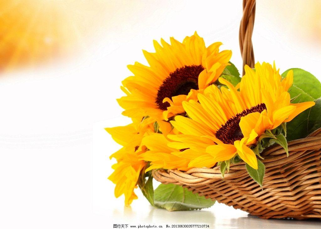 向日葵 鲜花 花朵 花卉 自然风景 摄影